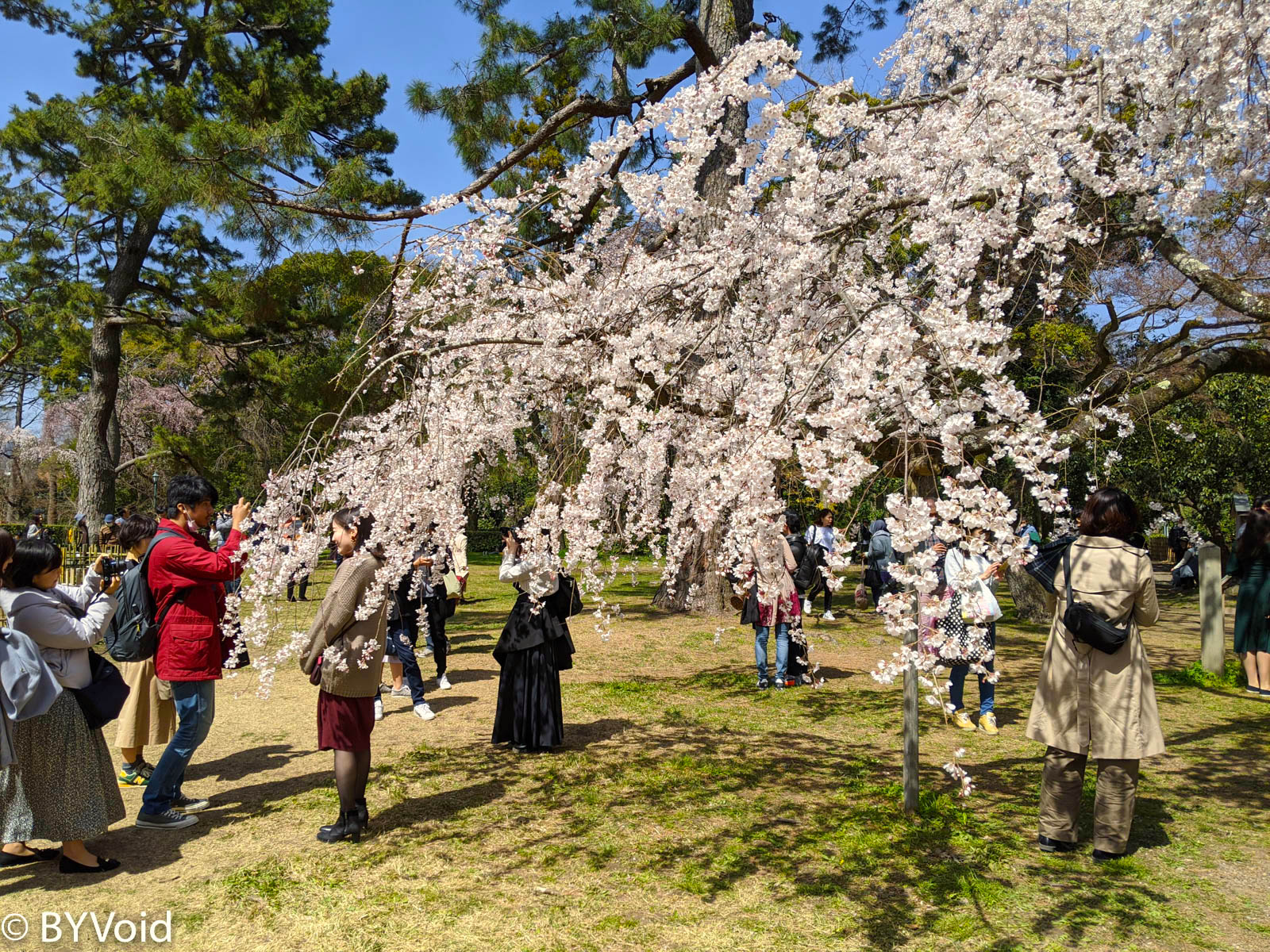 京都御苑樱花